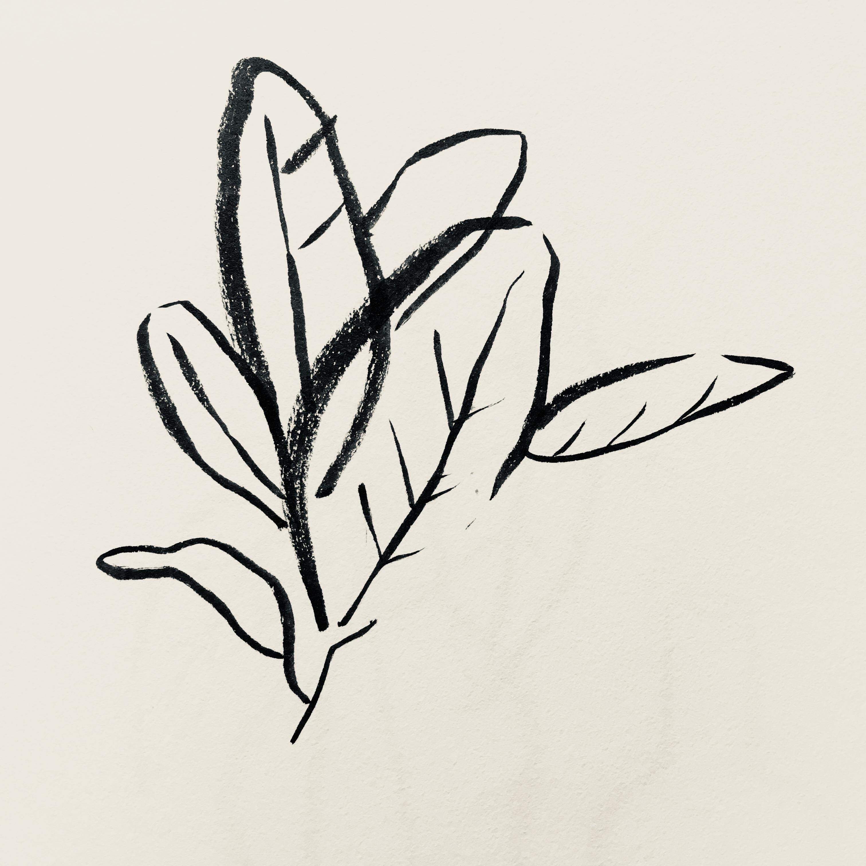 Audrey Bengal fig 'ficus benghalensis'
